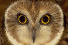 Barn_Owl_Face