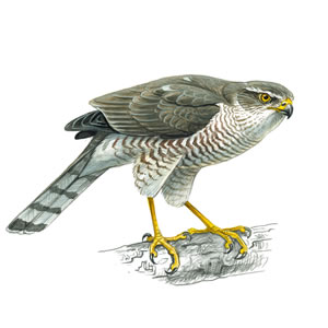 Sparrow Hawk - Female