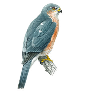 Sparrow Hawk - Male